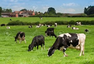 5351565-dairy-cows-grazing-in-the-meadow-with-farm-house-buildings-in-background